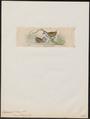 Ortygometra novae hollandiae - 1820-1863 - Print - Iconographia Zoologica - Special Collections University of Amsterdam - UBA01 IZ17500091.tif