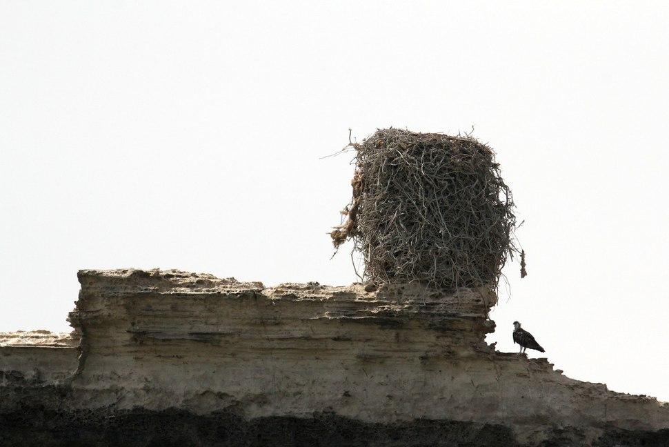 Osprey with its nest
