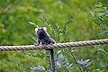 Ouistiti à toupets blancs (Zoo Amiens)3.JPG