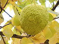 Owoc.JPG