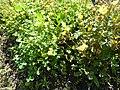 Oxalis valdiviensis 'Chilean Yellow Sorrel' (Oxalidaceae) plant.JPG