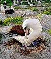PMNM - Wisdom the albatross (26918572570).jpg