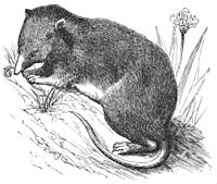 PSM V36 D683 Common european shrew.jpg