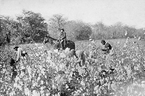 PSM V54 D025 Cotton field in mississippi.jpg