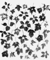 PSM V66 D216 Blacberry hybrid leaves.png