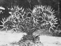 PSM V81 D438 Encephalartos horridus in st george park port elizabeth.png