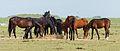 Paarden in de zomerpolder. Locatie, Noarderleech.jpg