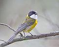 Pachycephala pectoralis - Risdon Brook.jpg