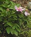 Paeonia mascula RF.jpg