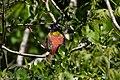 Painted Bunting (male) Smith Oaks High Island TX 2018-04-15 10-26-04 (41229210544).jpg
