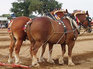 Suffolk Punch - A pair of Suffolks harnessed for a ploughing demonstration