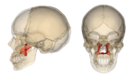 Palatine bone.png