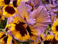 "Pansy ""Frizzle Sizzle Yellow Blue Swirl,"" Phipps Conservatory, 2015-03-25, 01.jpg"