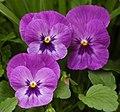 Pansy Viola x wittrockiana Purple Cultivar Flowers 2081px.jpg