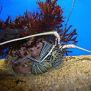<i>Panulirus versicolor</i> species of crustacean