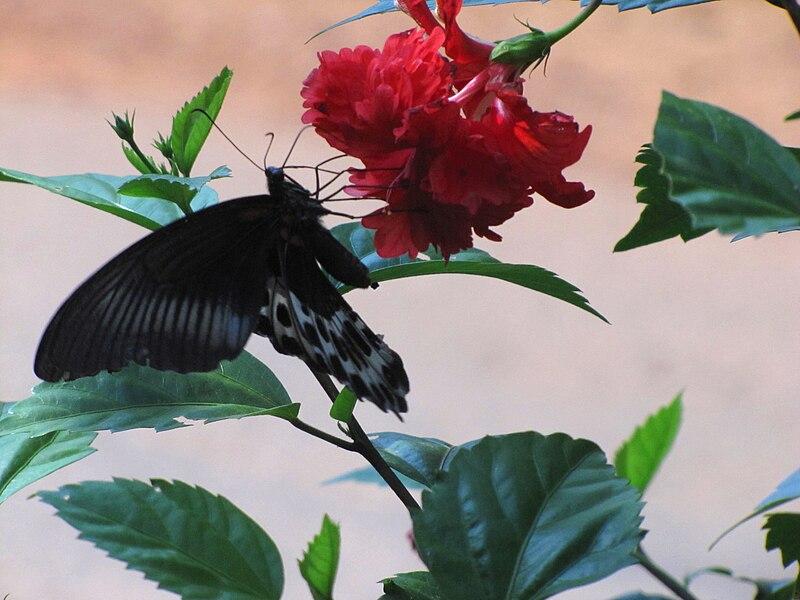 File:Papilio polymnestor(1).jpg