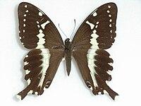 PapiliomangouraHewitson,1875Female.JPG