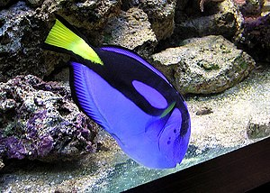 English: Regal Tang fish at Bristol Zoo, Brist...