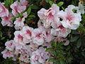 Parco della Burcina-Rhododendron-IMG 0778.JPG