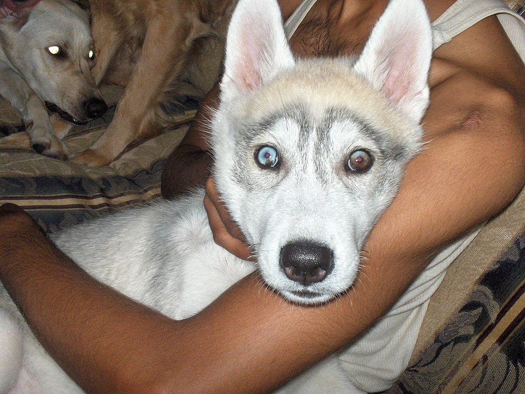 Half Wolf Dogs For Sale