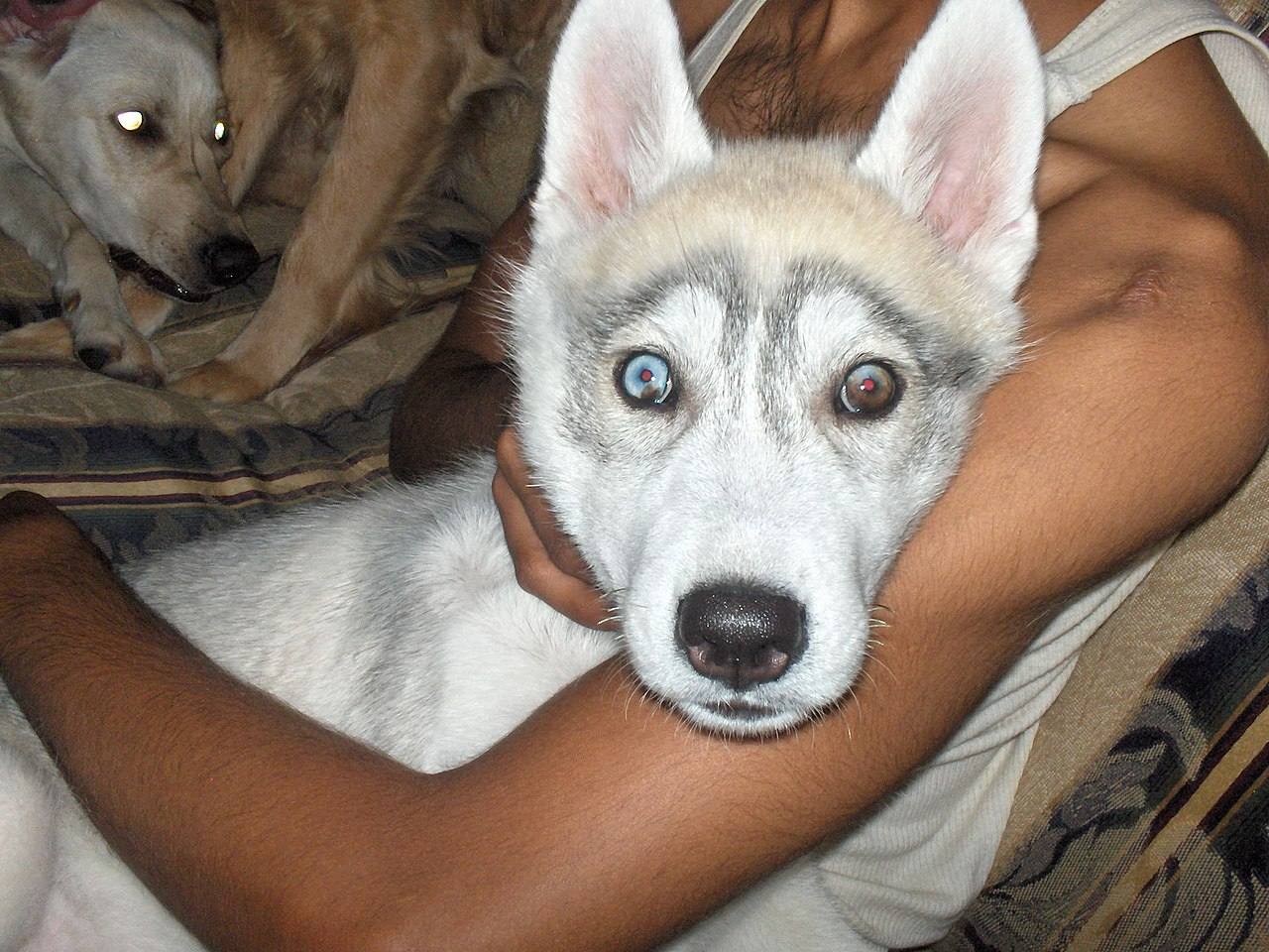 File:Part-colored husky puppy eyes.jpg - Wikimedia Commons