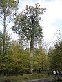 Patriarch oak.jpg