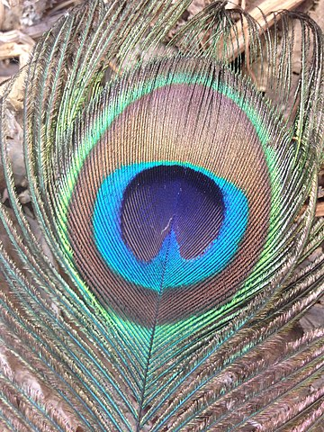 Closeup of peacock feather- by Satdeep gill wikimedia commons