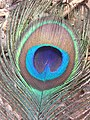 Peacock Feather Close Up.JPG