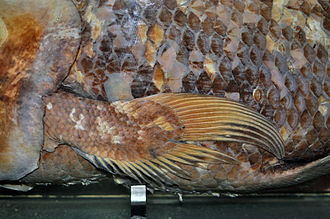 Coelacanth - Pectoral fin of a West Indian Ocean coelacanth