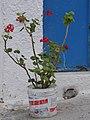 Pelargonium - Fira - 2007.jpg