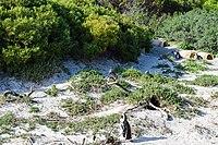 Penguins at Boulders Beach, Cape Town (5).jpg