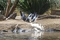 Penguins at WILD LIFE Sydney Zoo, Australia (Ank Kumar) 03.jpg