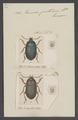 Percosia - Print - Iconographia Zoologica - Special Collections University of Amsterdam - UBAINV0274 011 12 0090.tif