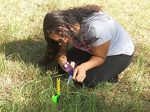English: perfectionist measuring and cutting grass