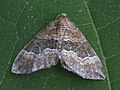 Perizoma bifaciata - Barred rivulet - Ларенция очанковая тёмная (40248213334).jpg