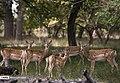 Persian Fallow Deers in Dasht-e Naz Wildlife Refuge 2020-06-02 11.jpg