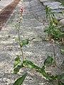 Persicaria maculosa sl2.jpg
