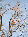Persimmon in Beijing zoo.JPG