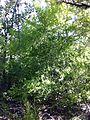 Persoonia oblongata bush.jpg