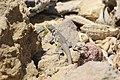 Peru Pacific Iguana Microlophus peruvianus.jpg