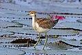 Pheasant-tailed jacana (Hydrophasianus chirurgus) juvenile.jpg
