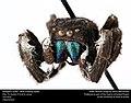 Phidippus audax -- Bold Jumping Spider (24468605033).jpg