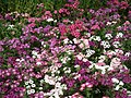 Phlox from Lalbagh flower show Aug 2013 8416.JPG