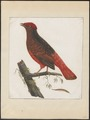 Phoenicircus carnifex - 1700-1880 - Print - Iconographia Zoologica - Special Collections University of Amsterdam - UBA01 IZ16600235.tif