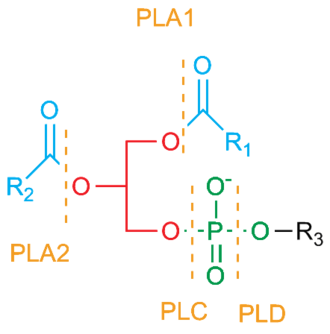 Phospholipase A2 - Phospholipase Cleavage Sites.  Note that an enzyme that displays both PLA1 and PLA2 activities is called a Phospholipase B