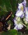 Phyllobates Aurotaenia Red & Violets.jpg