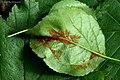 Phyllocoptes annulatus on Buckthorn Rhamnus cathartica (25866156418).jpg