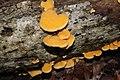 Phyllotopsis nidulans 102547722.jpg