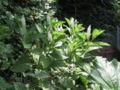 Phytolacca esculenta20060624.JPG