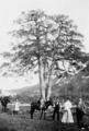 Pi de les 3 Branques, c. 1900.png